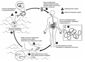Цикл развития червя ришта