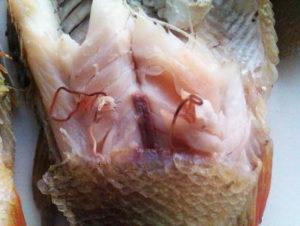 Зараженная описторхозом рыба