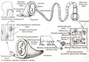 Стадии развития бычьего цепня и попадание его в организм