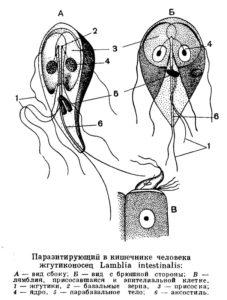 Строение Лямблии кишечной
