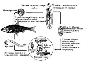 Жизненный цикл описторхоза