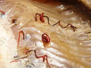 Описторхи в рыбе