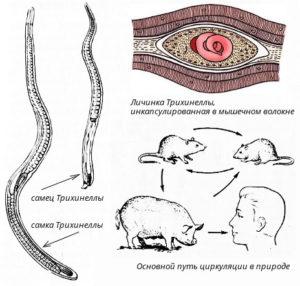 Личинка трихинеллы под микроскопом