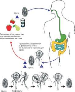 Жизненный цикл кишечной лямблий