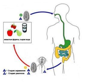 Жизненный цикл лямблиоза