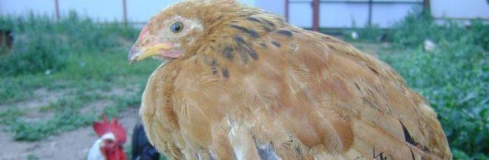 лекарство от глистов для цыплят