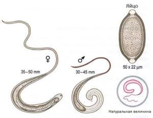 Власоглав: самец и самка