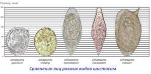 Сравнение шистосом