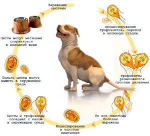 Развитие лямблий в организме собаки