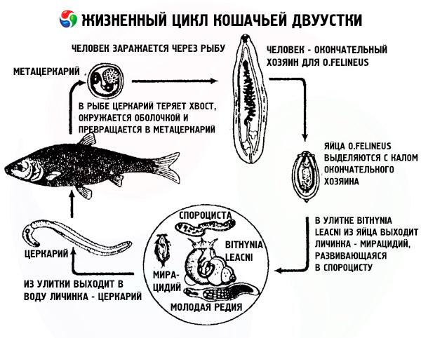 сосальщики паразиты человека фото