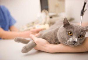 Обследование кошки у ветеринара