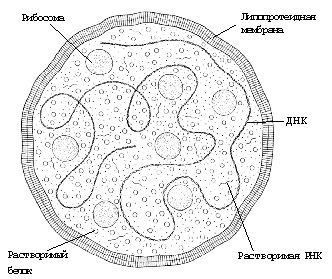 Строение микоплазмы