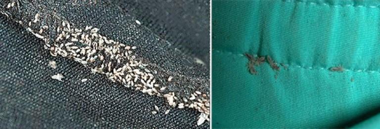 Платяные тканевые вши в одежде
